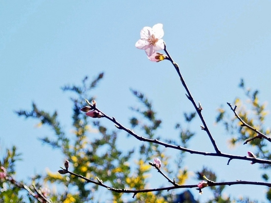 アーモンドの花 (1).jpg