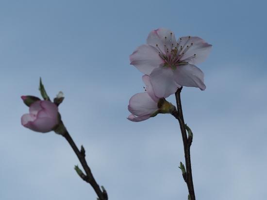 アーモンドの花 (2).jpg