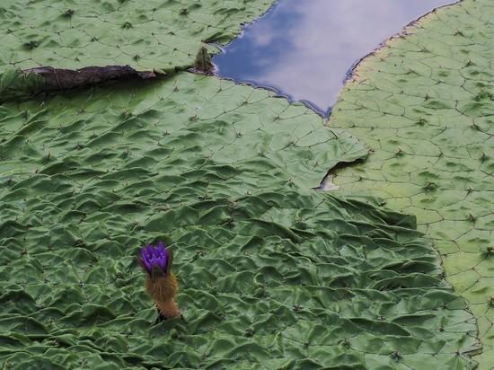 オニバスの花723.jpg