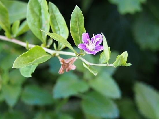 クコの花801.jpg