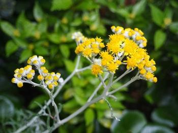 シロタエギクの花620.jpg