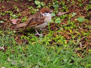 スズメの幼鳥630.jpg