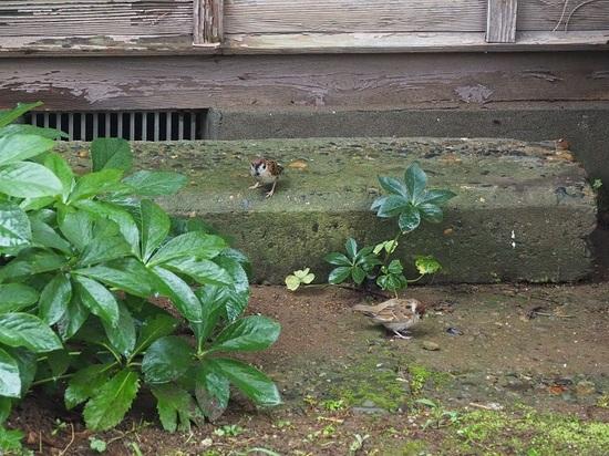 スズメの親子705石段に.jpg