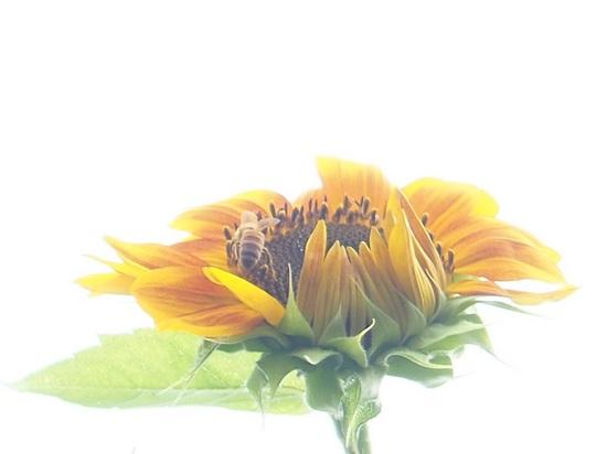 ハチと向日葵トリミング.jpg