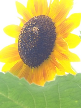 ハチと花蜘蛛711.jpg