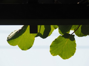 ハートの葉っぱ.jpg