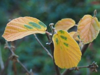 マンサクの葉.jpg