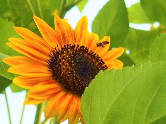 ミツバチ802.jpg