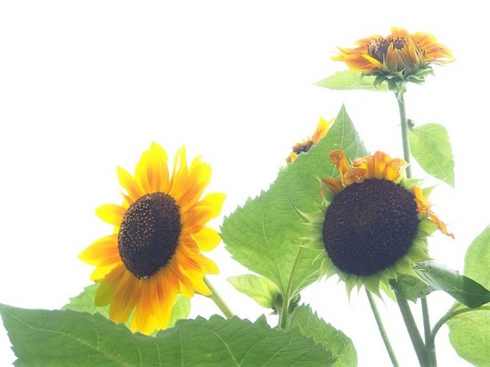 向日葵とミツバチ711.jpg