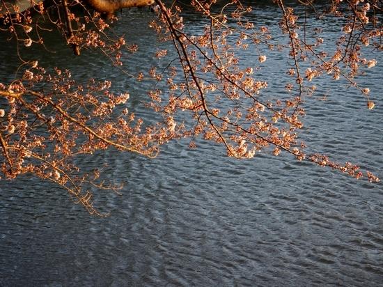 大場川の桜.jpg