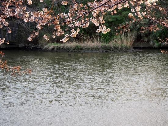 大場川の桜 (2).jpg