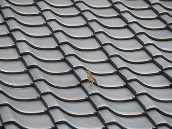 屋根に幼鳥.jpg