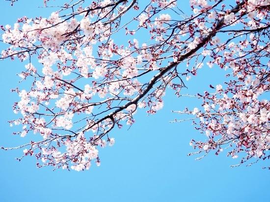 東部公園の桜.jpg