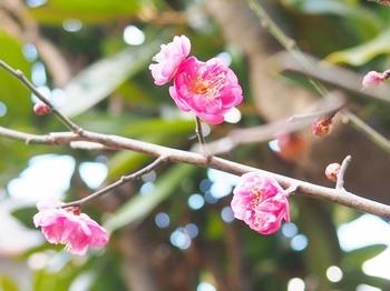 母の庭の紅梅.jpg
