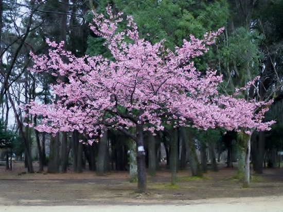 河津桜 (2).jpg