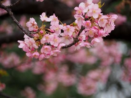 河津桜 (4).jpg