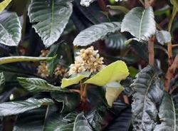 琵琶の花.jpg