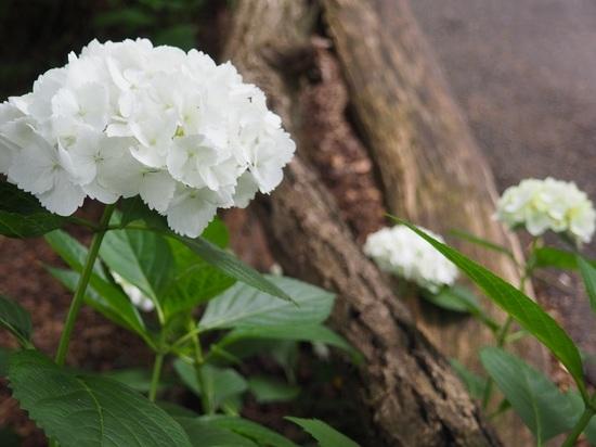 白紫陽花.jpg