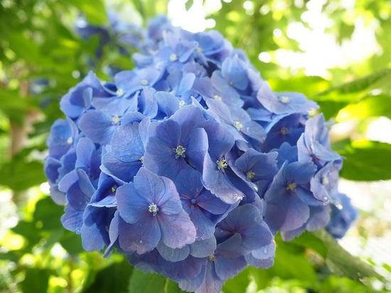 紫陽花615.jpg