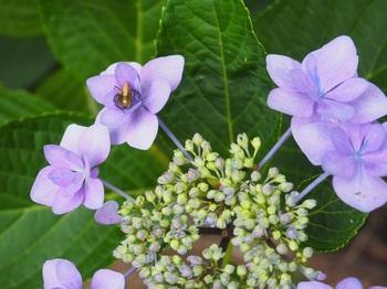紫陽花と虫1.jpg