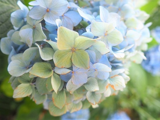 紫陽花の色617.jpg