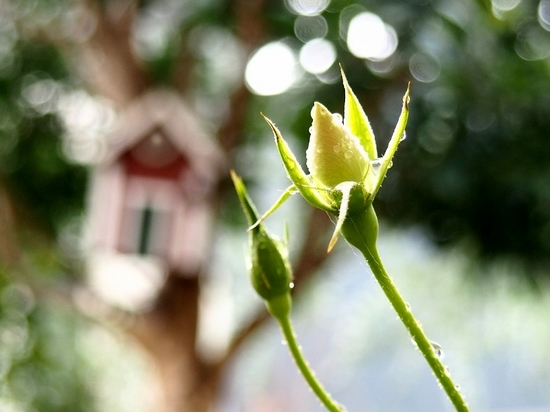 薔薇のツボミ (1).jpg