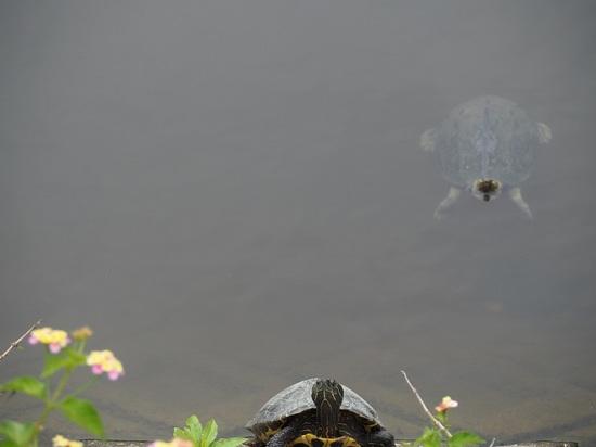 野鳥観察公園の亀.jpg