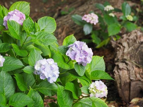 野鳥観察公園の紫陽花.jpg