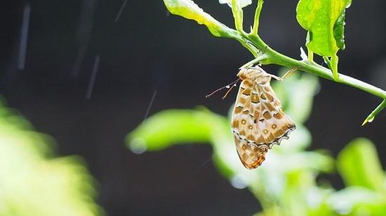 雨の中の蝶702.jpg