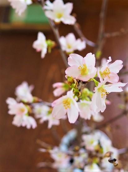 みちのく初桜