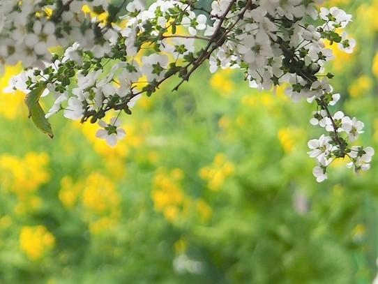菜の花と雪柳