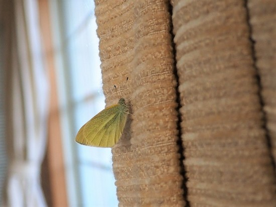 冬眠中のモンシロチョウ