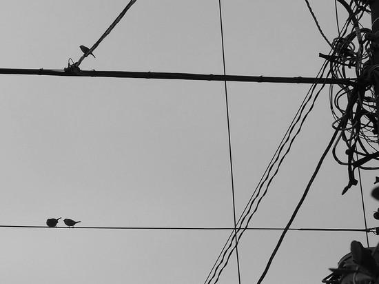 電線にスズメ2