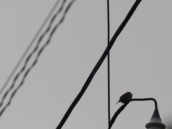 電線にスズメ5