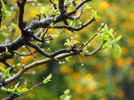 花梨のつぼみ