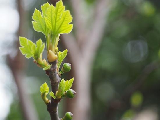 無花果の新芽