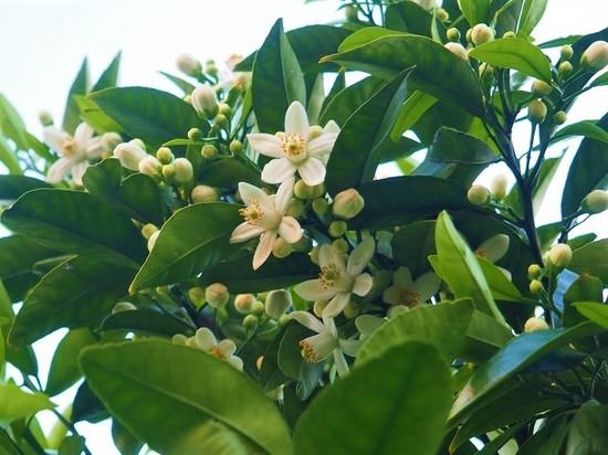 夏蜜柑の花