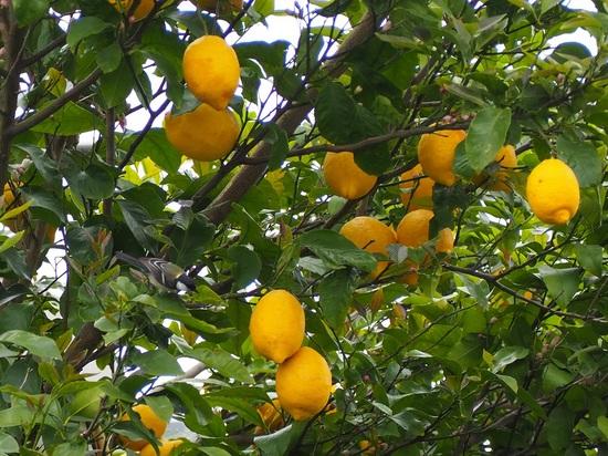 レモンとシジュウカラ