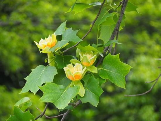 百合の木の花