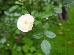 ミニ薔薇グリーンアイス