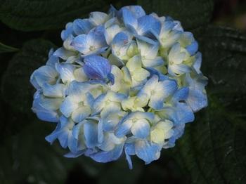 紫陽花紫陽花