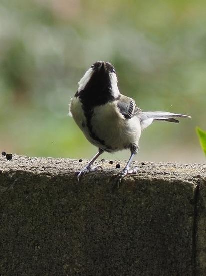 シジュウカラの親鳥