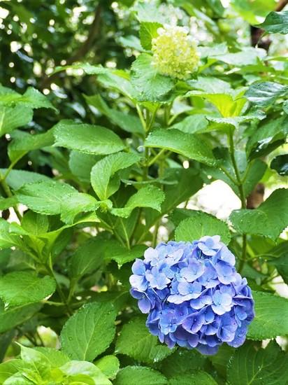 西洋紫陽花