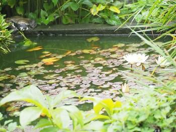 睡蓮とヒキガエル