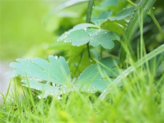 オダマキの葉に水玉