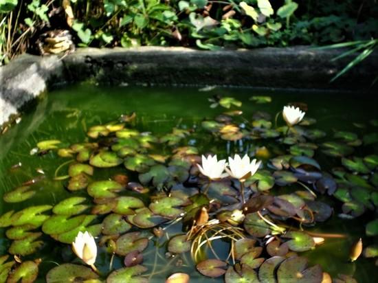 こたつ池のヒキガエル