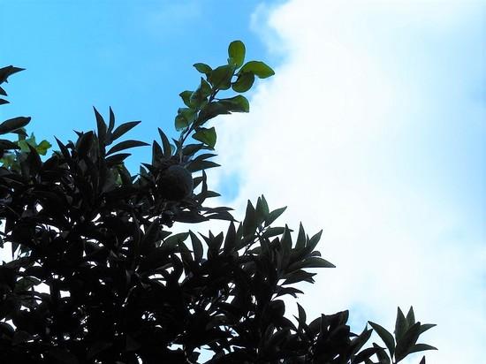 夏蜜柑の木