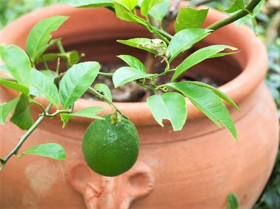 檸檬の鉢植えにアマガエル